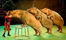 Hippopotamus Show in Belarusian State Circus