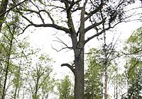 400-гадовы дуб-гігант