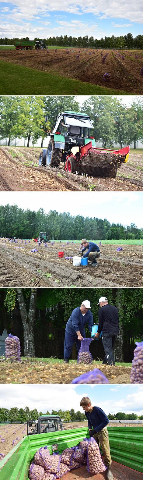 Lukashenko harvests potatoes in his garden on Saturday